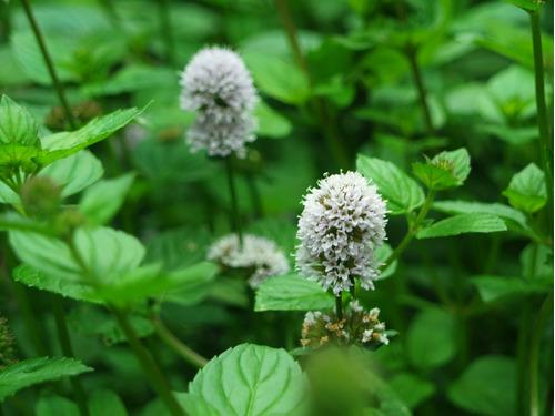 hortelã chocolate mint piperita  ervas sementes para mudas