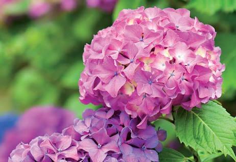 hortências - 10 estacas para mudas - ornamental