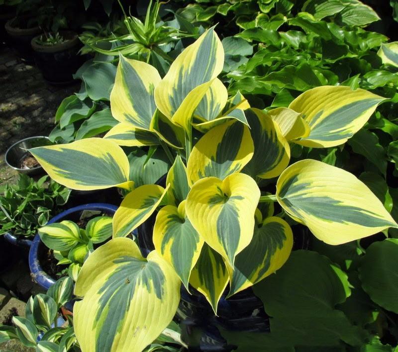 Hosta mixed planta para sombra sementes flor p mudas for Lista de plantas de sombra