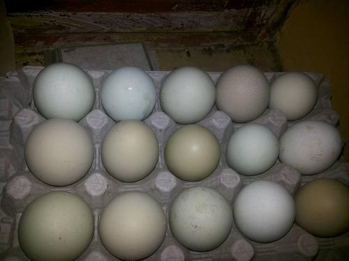 huevos de gallina collonca