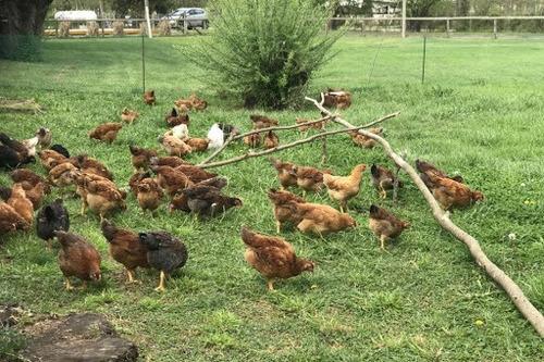 huevos de gallina libre y feliz. reparto gratis