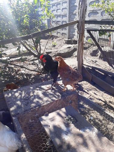 huevos fertiles de gallina feliz