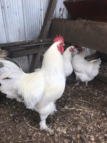 huevos fertiles de gallinas cochinchina gigante