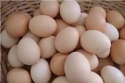 huevos fértiles de gallinas ponedoras con gallos criollos