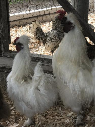 huevos fertiles de gallinas sedosas de japon blancas y cafe