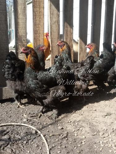 huevos fertiles gallinas brahma