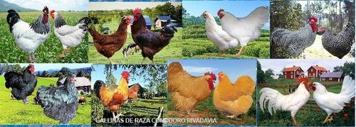 huevos fértiles gallinas raza pura para incubar