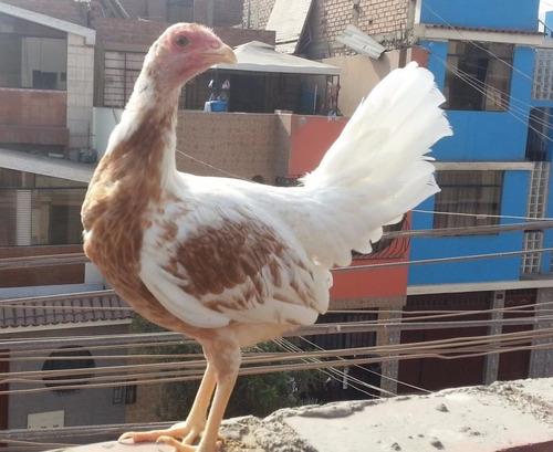 huevos fértiles s/15.00 de gallos gallinas de pelea lima