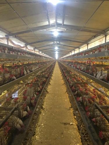 huevos por mayor ! directo de granja !