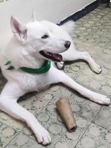 husky siberiano busca novia