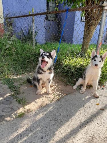 husky siberiano cachorros