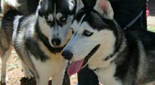 husky siberiano cachorros aptos para registro