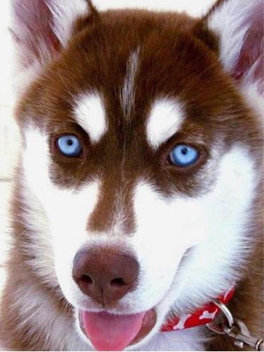 husky siberiano cachorros de calidad