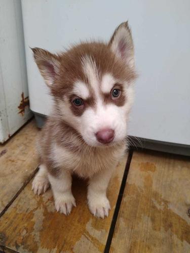 husky siberiano cachorros hermosos