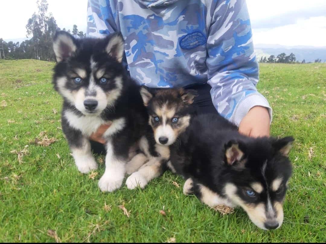 husky siberiano en venta
