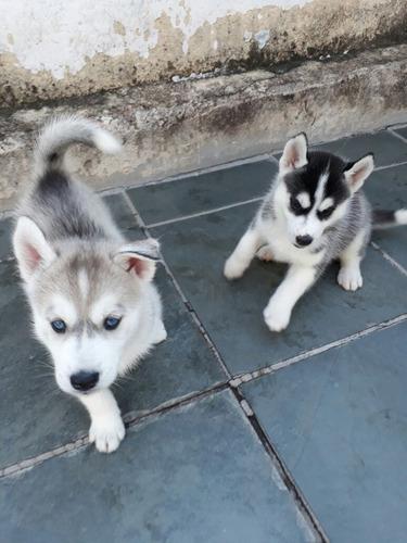 husky siberiano lindos filhotes