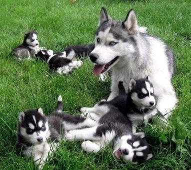 husky siberiano lindos filhotes à pronta entrega