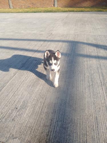 husky siberiano macho 3 meses