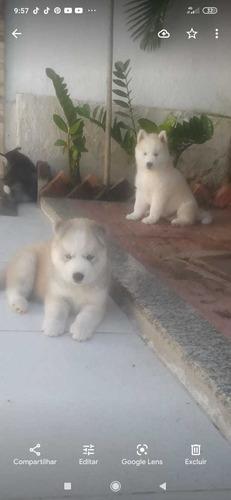 husky siberiano macho e fêmea