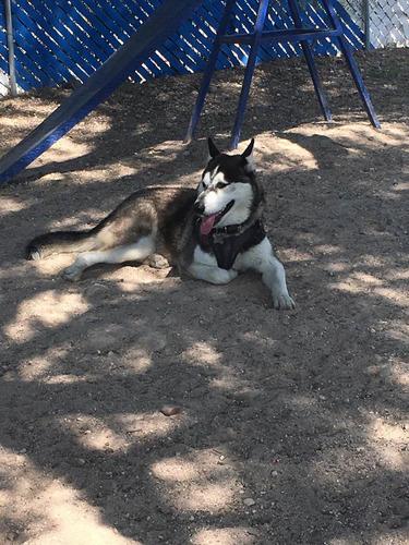 husky siberiano macho para monta