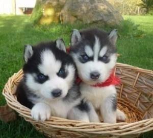 husky siberiano padres de pedigree