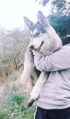 husky siberiano para monta
