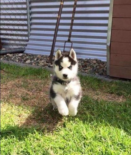 husky siberiano pedigree de los padres a la vista