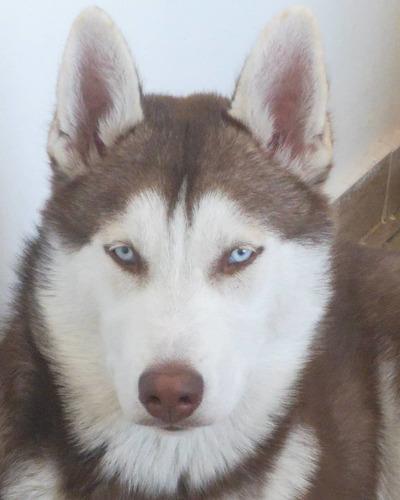 husky siberiano pedigree .. para servicio