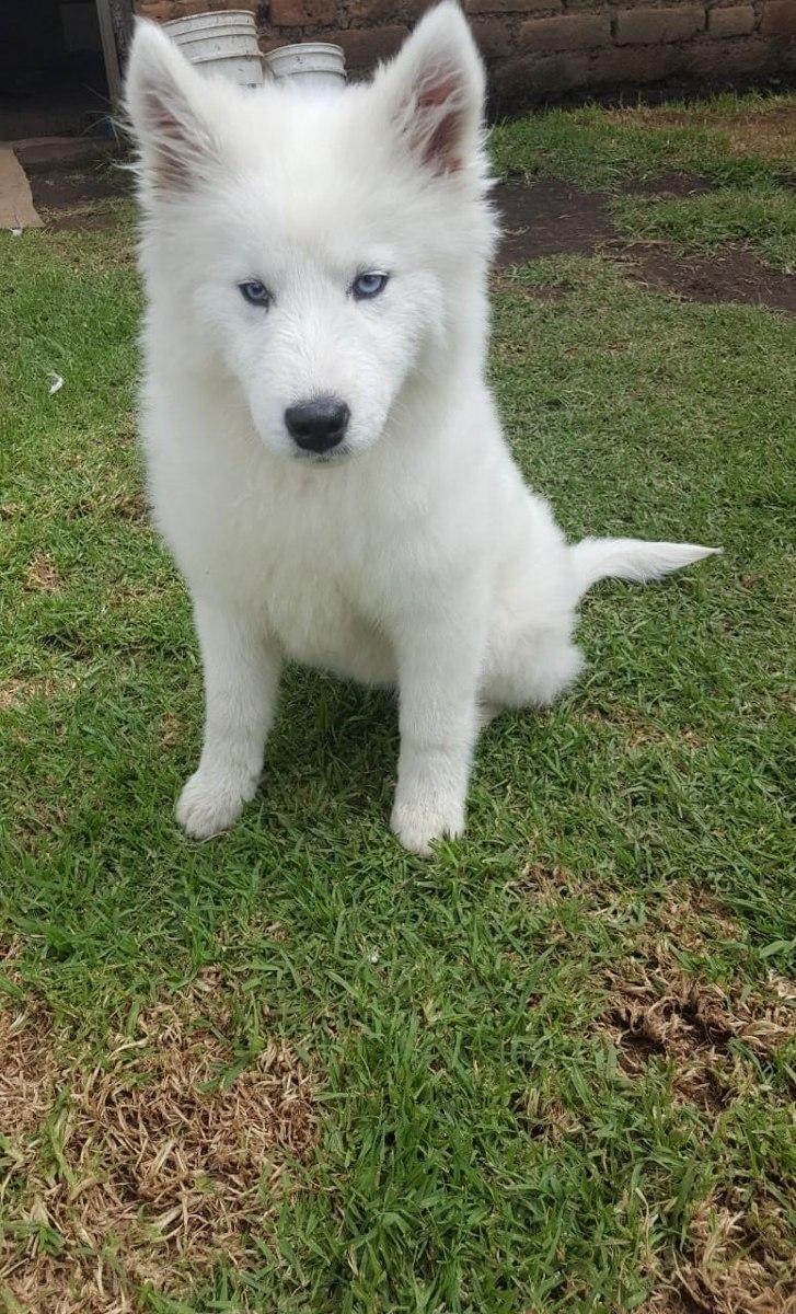 Husky Siberiano Perros Lobos Cachorros 100 Puros Us 15000 En