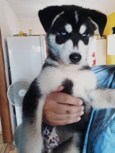 husky siberiano rs