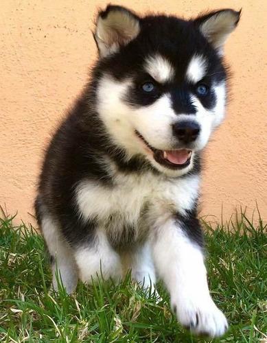 huskys husky siberiano ojos azules hermosos cachorros