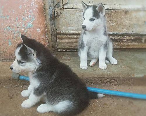 huskys siberanos cachorros