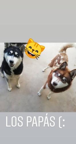 huskys siberianos (cachorros)