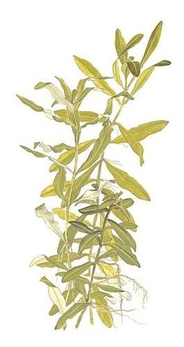 hygrophila polysperma planta sencilla