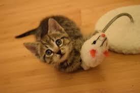 iams cat kitten 3 kg