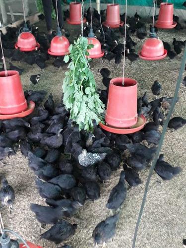 incrementa tus ingresos con gallinas ponedora