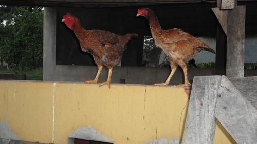 indio gigante (ovos galados)