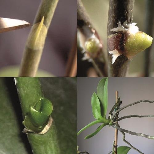 inductor de plántulas keiki-up! 5g - semillas para orquídeas