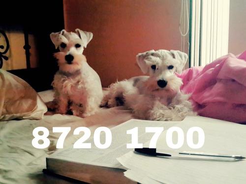 info: 87201700 schnauzer blanco no está en venta! solo salto