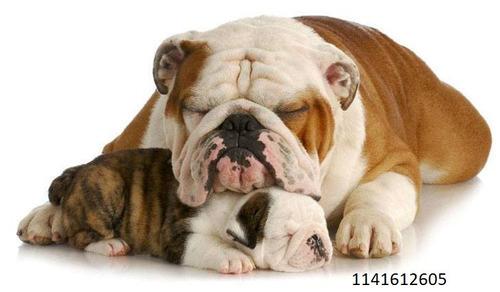 inseminación artificial canina a domicilio