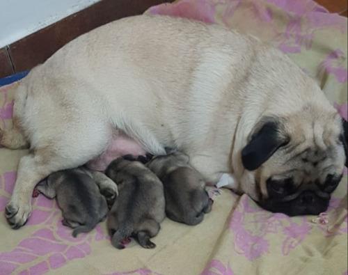 inseminacion artificial perros caninos