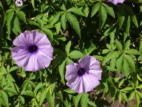 ipomoea cairica * railroad morning glory * flor - sementes