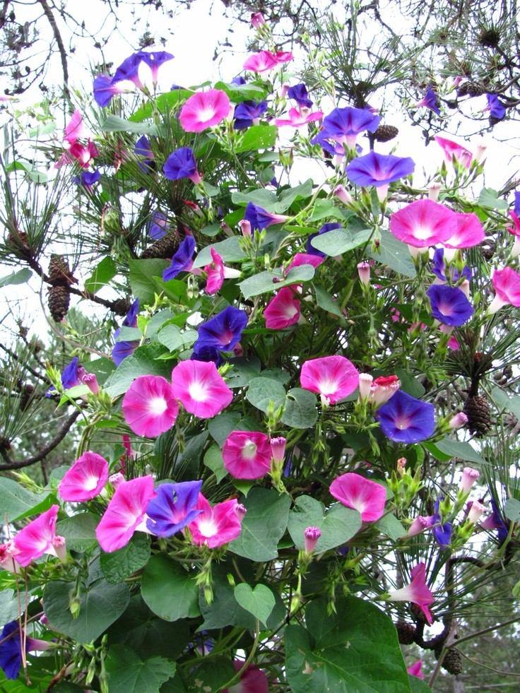 Ipomoea purpurea campainha sementes flor para mudas for Ipomea purpurea