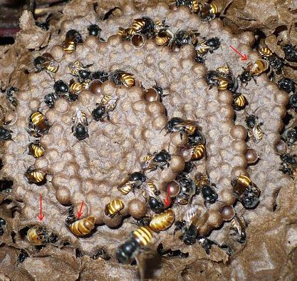 isca ferromoneo abelha mandaçaia 100ml+cera