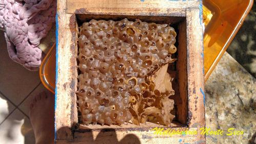 isca pet para captura de enxame abelha jatai