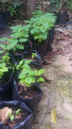 jacaranda amarilla planta