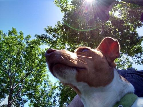 jack russel terrier. macho, doy servicio.