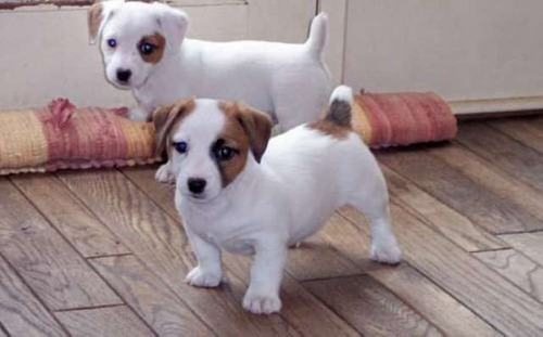 jack russell perros