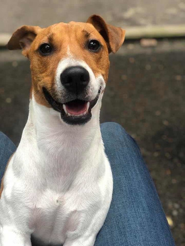jack russell terrier disponible para monta. macho pedegree