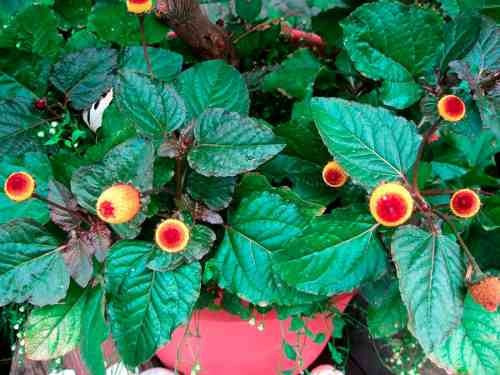jambu spilanthes oleracea ervas flor 30 sementes para mudas